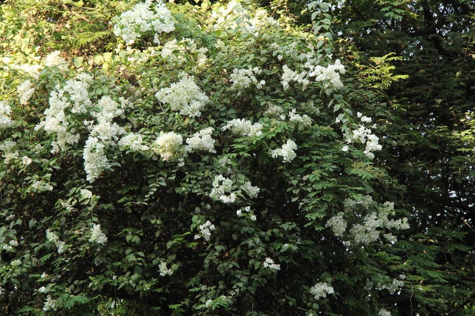 Alberi e arbusti fioriti giardini in viaggio for Cespugli sempreverdi fioriti