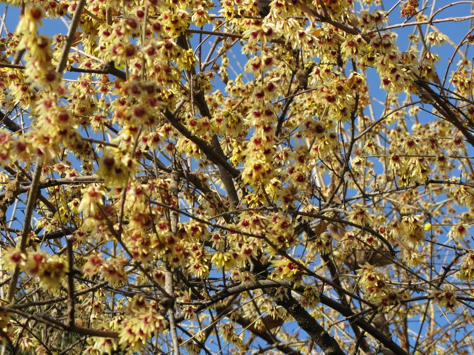 Winter garden giardini in viaggio - Fiori gialli profumati ...