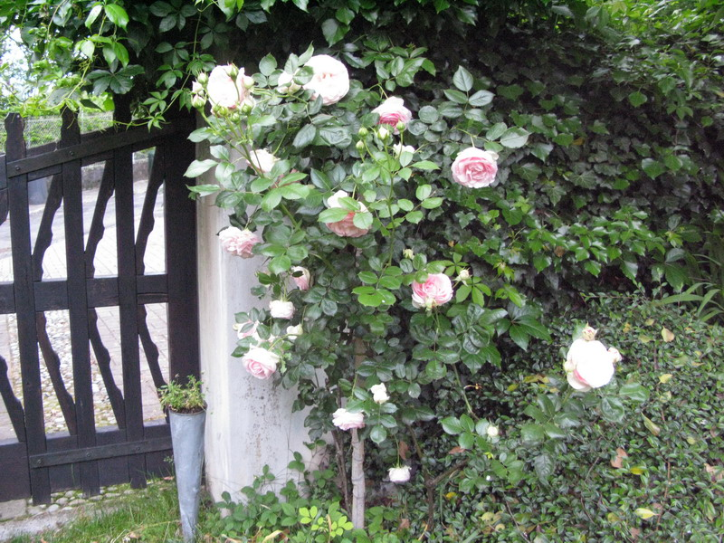 Fioriture di maggio nel mio giardino giardini in viaggio for Pierre de ronsard rosa