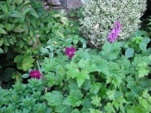 Una rosa per me nuova Burgundi ice dal colore stupendo, molto rifiorente