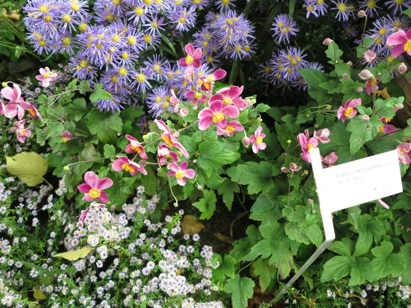 Visti a orticolario giardini in viaggio for Anemone giapponese