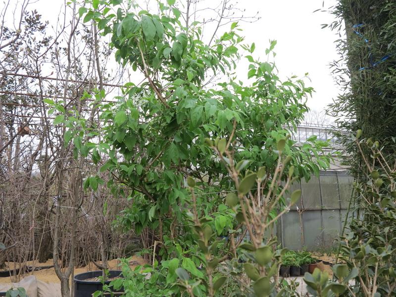 Piccoli alberi nel giardino i consigli del vivaista enrico cappellini giardini in viaggio - Alberi da giardino consigli ...