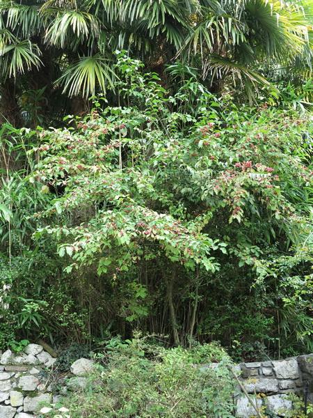 Una nuova erbacea da ombra nel mio giardino giardini in for Ombra in inglese