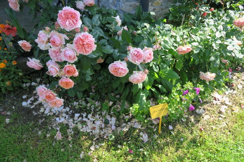 Un giardino di rose moderne a vararo varese giardini for Rosa inglese