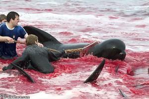 Terrificante: strage di delfini nella civile Danimarca