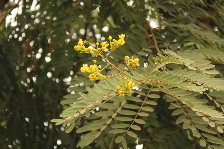 Fiori Giallo Verdognoli A Grappolo.Passaggio In India Alberi E Arbusti Fioriti Giardini In Viaggio