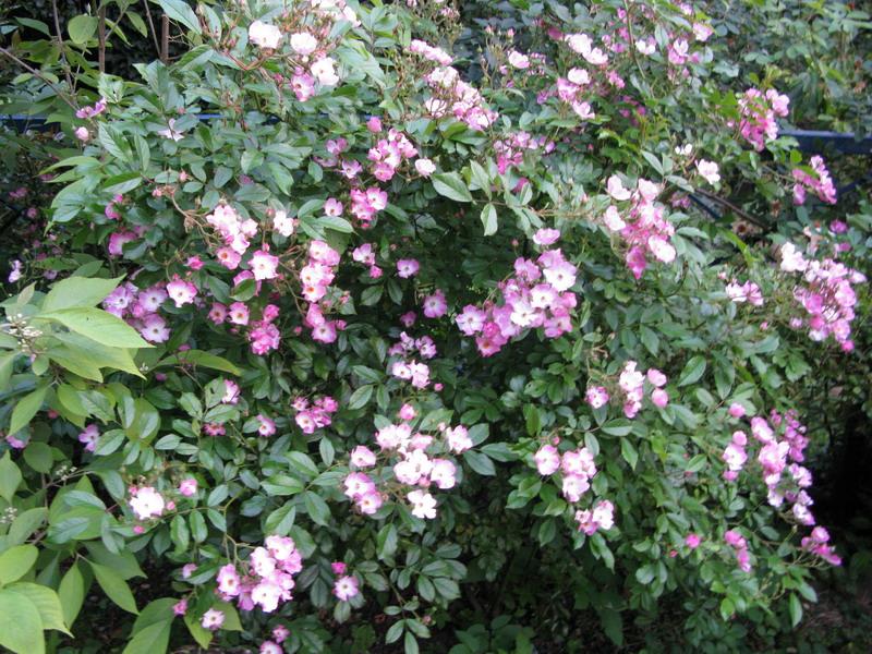 Fioriture di maggio: nel mio giardino