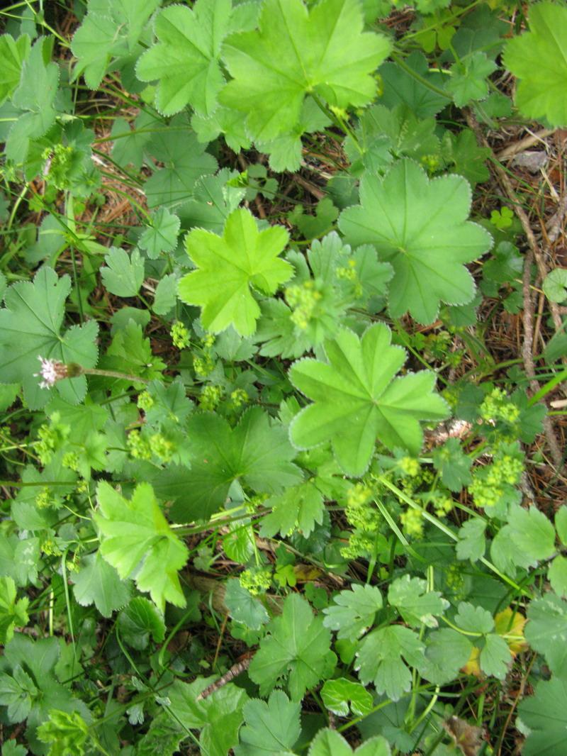 L'altopiano del Renon: flora alpina. Terza parte
