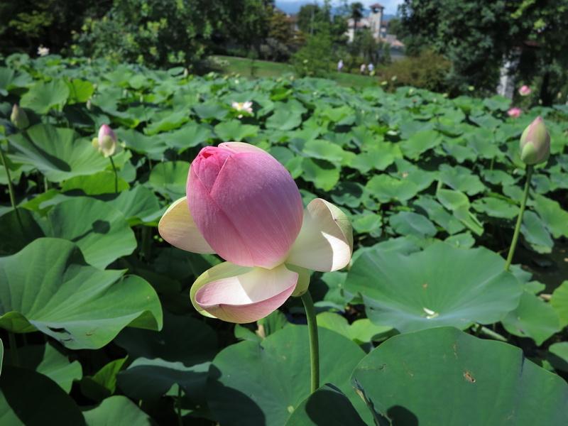 Dalie e fiori di loto a Villa Taranto