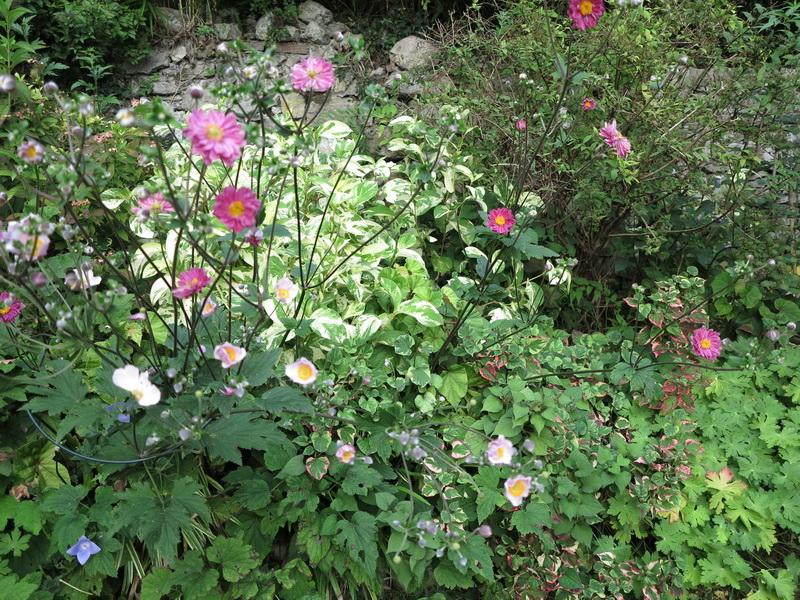 Fioriture di tarda estate nel mio giardino a Laveno