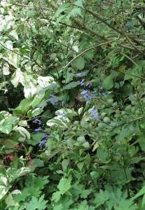 Una nuova erbacea da ombra nel mio giardino