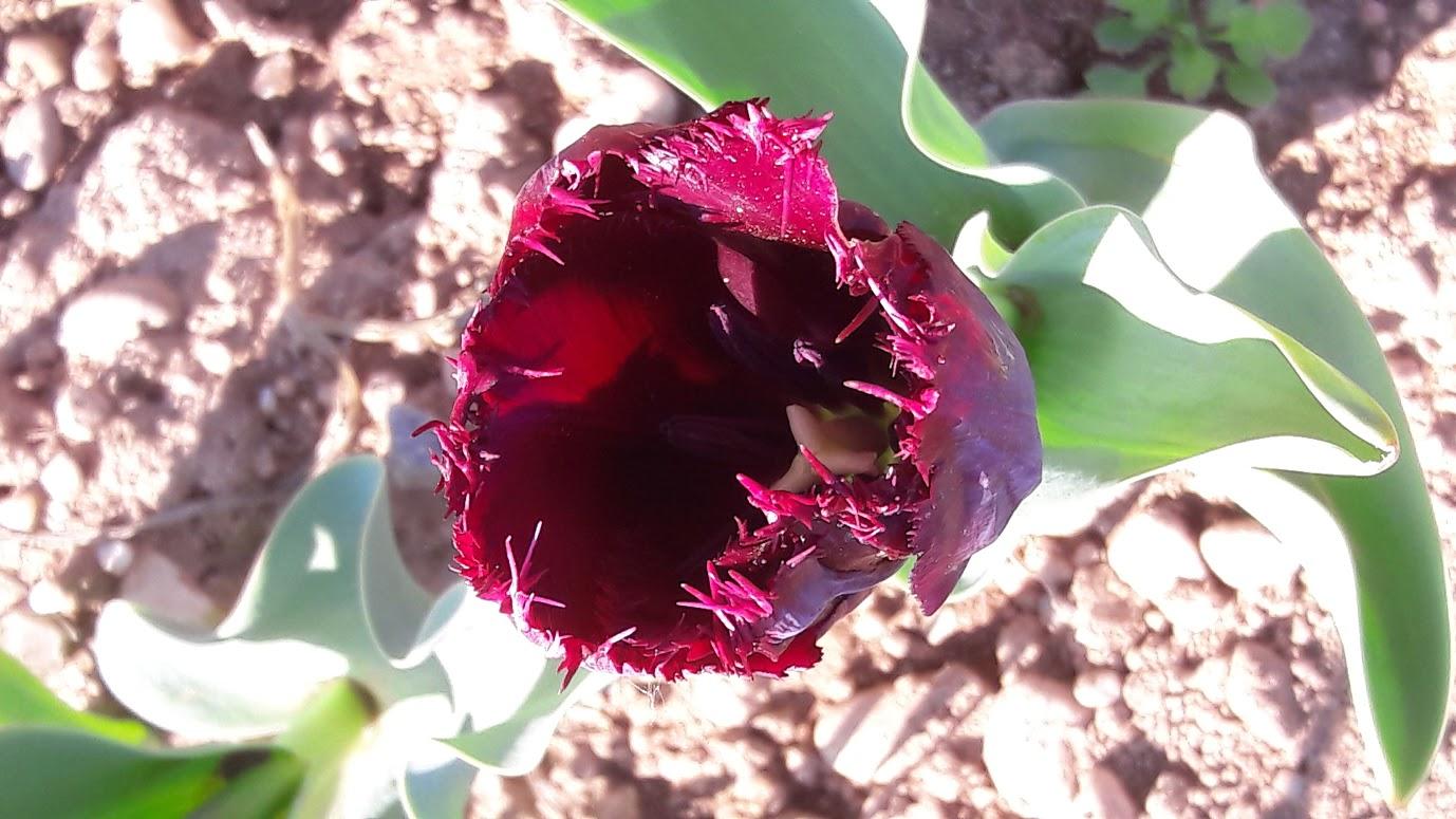 I tulipani di Cornaredo (Milano)