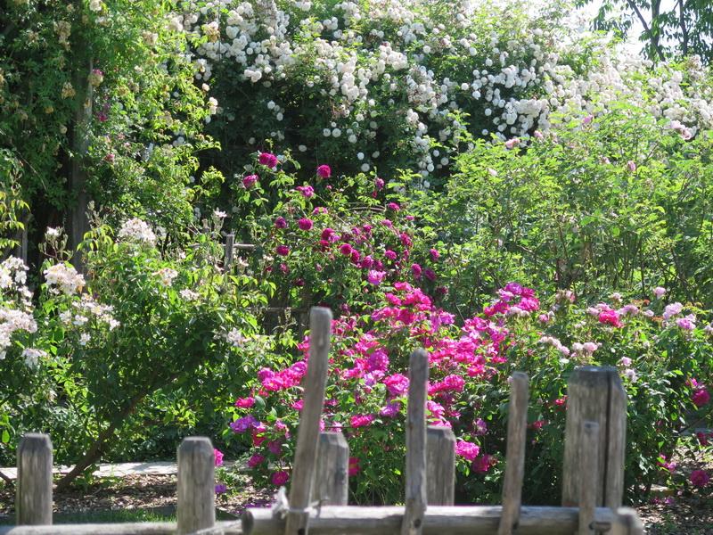 Il roseto di Angera a maggio. Foto di Claudia Pimpinelli