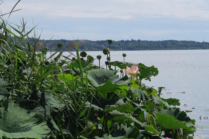 Fioriture di fiori di loto sul lago di Comabbio