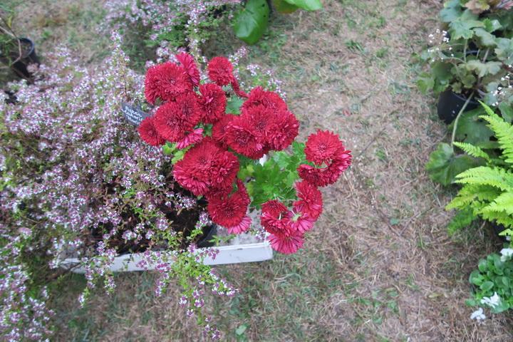crisantemi, fiori autunnali