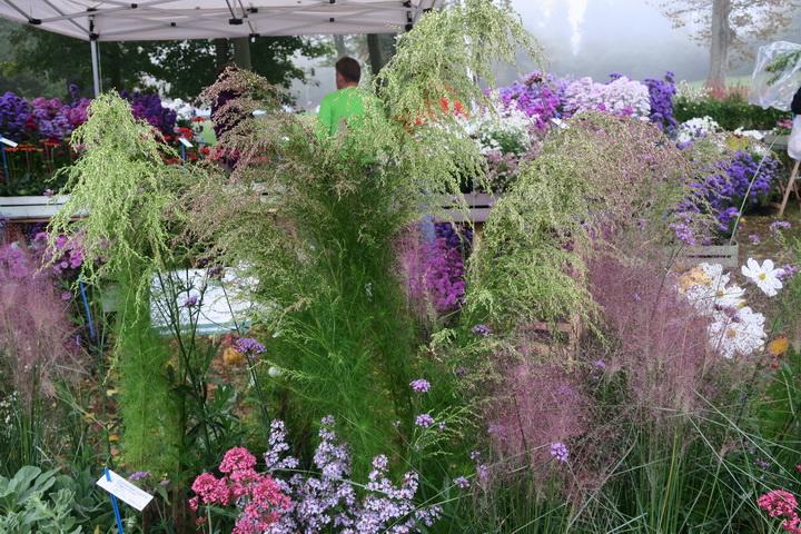 eupatorium, fiori autunnali