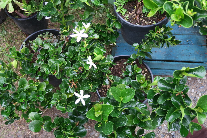 Carissa, piante mediterranee