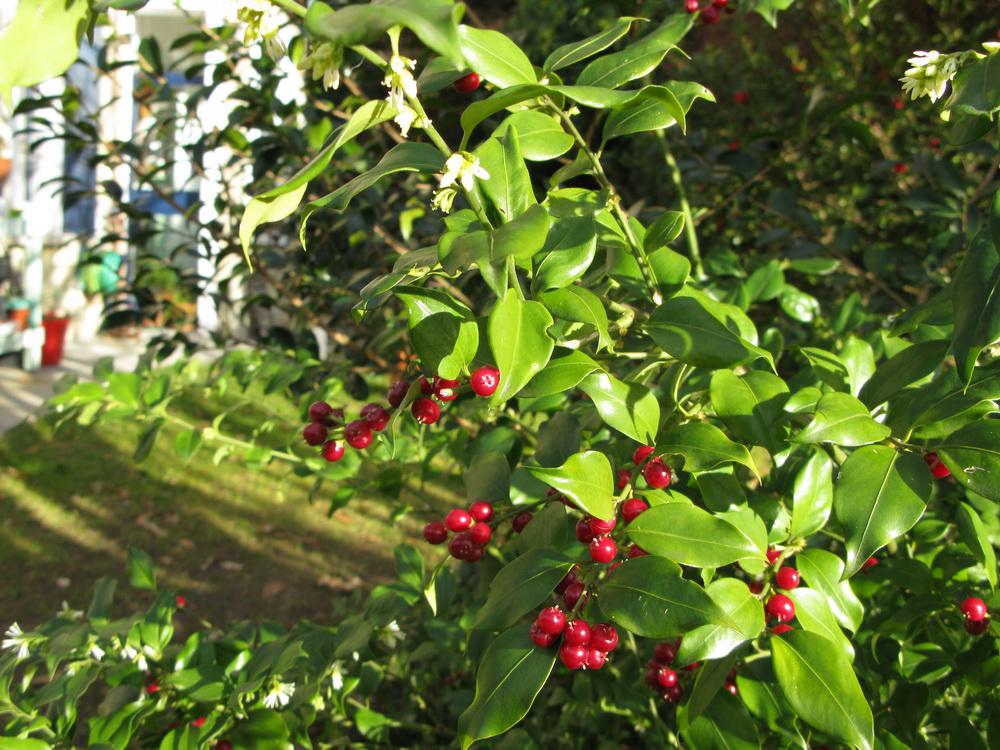 piante d'inverno, sarcococca