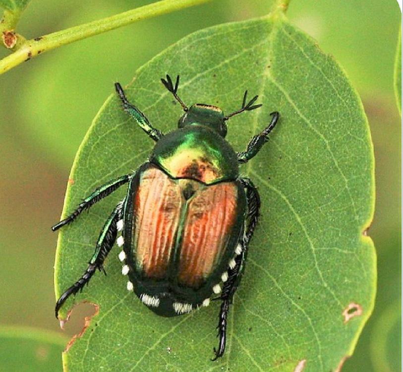 Popillia japonica: una minaccia per i giardini e le colture